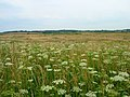 Hogweed, Pevensey Levels - geograph.org.uk - 210032.jpg