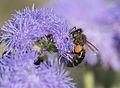 Honeybee - Balarısı 02.jpg