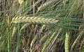 Hordeum vulgare winterbarley, wintergerst aar (2).jpg