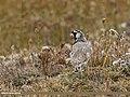 Horned Lark (Eremophila alpestris) (29299256873).jpg
