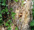 Hornisse auf Baumstumpf 2.jpg
