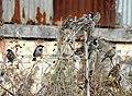 House Sparrow Passer domesticus by Raju Kasambe DSCN2160 (1) 07.jpg