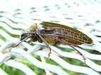 Huhu beetle 03.jpg