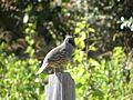 Humboldt County - California Quail - panoramio.jpg