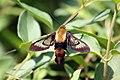 Hummingbird Clearwing moth (4895985879).jpg