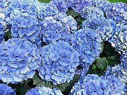 The Hydrangea macrophylla blossoms in pink or blue, depending on soil pH. In acidic soils, the flowers are blue; in alkaline soils, the flowers are pink.