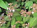 Hydrangea serrata Kiyosumi (19088233152).jpg