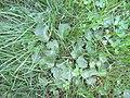 Hydrocotyle umbellata L. (AM AK356688-2).jpg