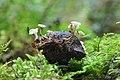 Hymenoscyphus fructigenus 26660858.jpg