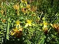 Hypericum tetrapterum 03 by Line1.jpg