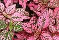Hypoestes phyllostachya Rose Splash Select 0zz.jpg