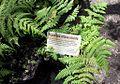 Hypolepis villosa-viscida - Cape Peninsula.jpg