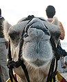 I, Camel. (2124155541).jpg