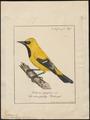 Icterus xanthornus - 1700-1880 - Print - Iconographia Zoologica - Special Collections University of Amsterdam - UBA01 IZ15800207.tif