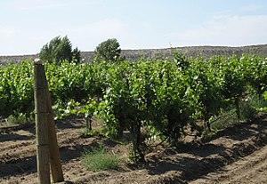 Regional climate levels in viticulture - The microclimate of these vines in Idaho is influenced by mesoclimate of the vineyard and the macroclimate of the Snake River Valley AVA.