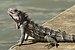 Iguana V.jpg