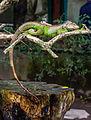 Iguana iguana, Gembira Loka Zoo, Yogyakarta, 2015-03-15 03.jpg