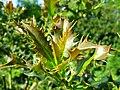 Ilex aquifolium Duisburg.JPG