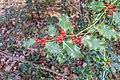 Ilex aquifolium in Foret des Palanges (4).jpg