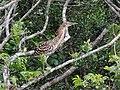 Ilha das Peças 2015 25 Socó-boi.jpg