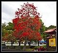 Illawarra Flame Tree (Brachychiton Acerifolius) at Sandgate-1 (6288556604).jpg