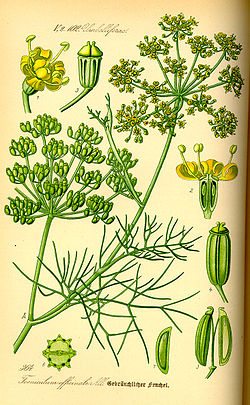 Illustration Foeniculum vulgare0.jpg