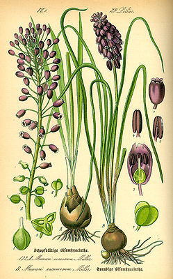 Illustration: links: Schopfige Traubenhyazinthe (Muscari comosum, Syn.: Leopoldia comosa) rechts: Weinbergs-Traubenhyazinthe (Muscari neglectum, Syn.: Muscari racemosum)