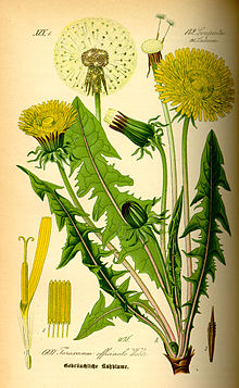 Illustration Taraxacum officinale0.jpg