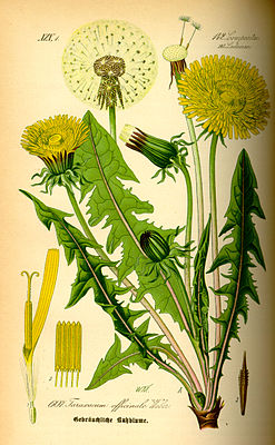 Tiaknang fan en hingstkral (Taraxacum officinale)