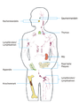 Immun-Organe.png