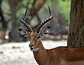 Impala Aepyceros melampus (Male). (9592715671).jpg