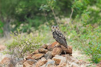 Indian Eagle Owl-0661.jpg