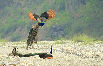 Indian Peafowls in Action.jpg
