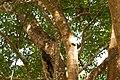 Indian Scoops Owl BR Hills.jpg