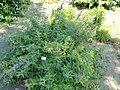 Indigofera tinctoria - Botanischer Garten, Frankfurt am Main - DSC03210.JPG