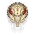 Inferior frontal gyrus - anterior view.png