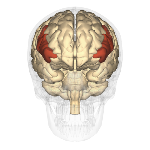 Fileinferior Frontal Gyrus Anterior Viewg Wikimedia Commons