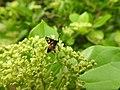Insects Wasp from Madayipara DSCN2119.jpg