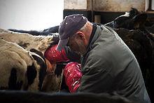 Artificial insemination - Wikipedia
