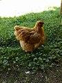 Interlaken District - Brown chicken.jpg