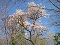 Ipê branco - Rancho Pedra Lisa - Terenos MS - panoramio (1).jpg