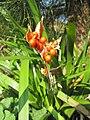 Iris foetidissima-capsule-1.jpg