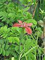 Iris fulva - Flickr - peganum (1).jpg
