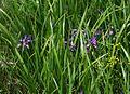 Iris graminea 6.jpg