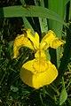 Iris pseudacorus (7003350850).jpg