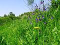 Iris sibirica Muromets2.JPG