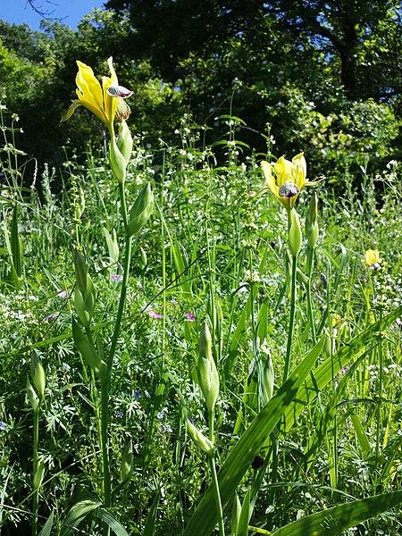 File:Iris variegata sl29.jpg