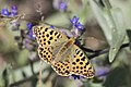 Issoria lathonia - Queen of Spain Fritillary, Sivas 2017-07-02 01-4.jpg
