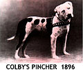 """File:It's said that Colby's Pincher was """"The greatest fighting dog ..."""