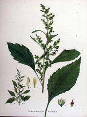 Iva voškovníkovitá (Iva xanthiifolia)